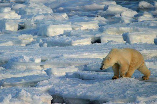 L'ours polaire en danger